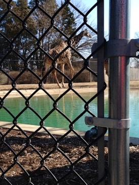 Giraffe Gate